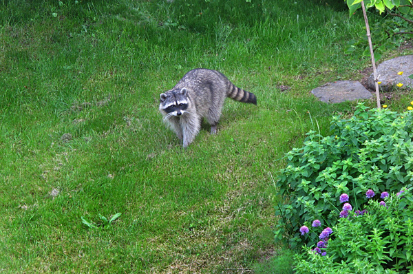 Review of the Best 7 Raccoon Traps - Best Way To Get Rid ...