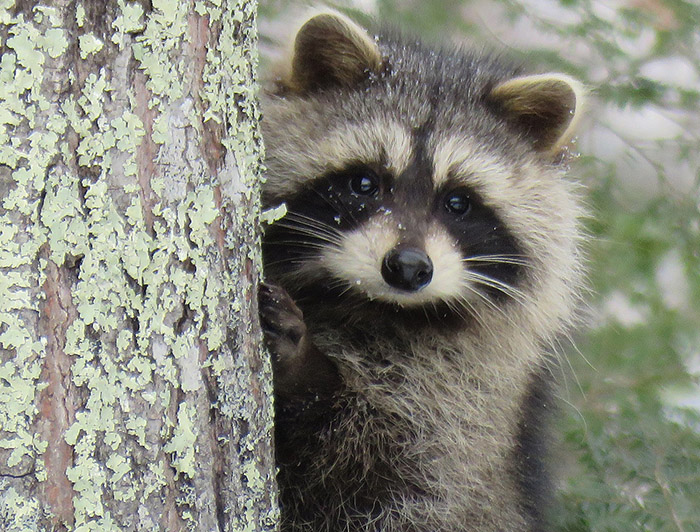 How to Make Your Own Raccoon Trap - Best Way To Get Rid Of ...